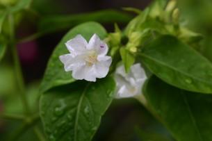 オシロイバナ ・ 同じ草から異なる色の花が咲くことから Marvel of Peru(ペルーの驚異)の別名。の写真素材 [FYI01209386]
