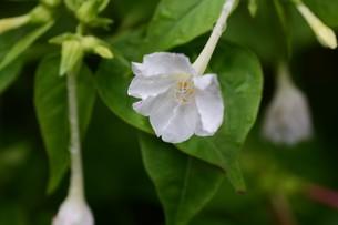 オシロイバナ ・ 同じ草から異なる色の花が咲くことから Marvel of Peru(ペルーの驚異)の別名。の写真素材 [FYI01209387]