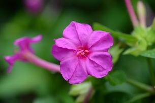 オシロイバナ ・ 同じ草から異なる色の花が咲くことから Marvel of Peru(ペルーの驚異)の別名。の写真素材 [FYI01209392]