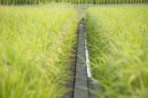 田んぼ 稲の写真素材 [FYI01209412]