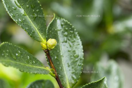 花の芽 水滴の写真素材 [FYI01209428]