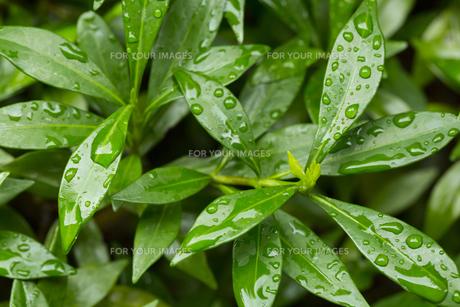 緑の葉 水滴の写真素材 [FYI01209429]