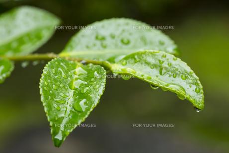 サザンカの葉 水滴の写真素材 [FYI01209430]