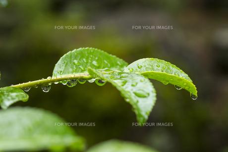 サザンカの葉 水滴の写真素材 [FYI01209431]