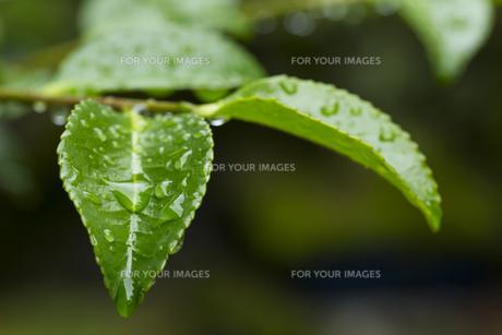 サザンカの葉 水滴の写真素材 [FYI01209432]