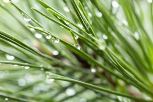 松の葉 水滴の写真素材 [FYI01209434]