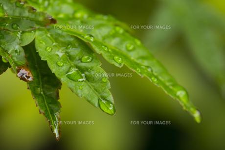 もみじ 水滴の写真素材 [FYI01209435]