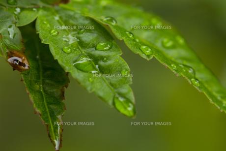 もみじ 水滴の写真素材 [FYI01209436]