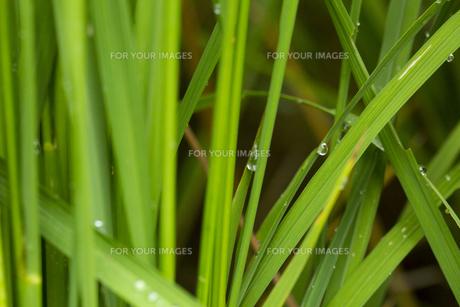 稲の葉 水滴の写真素材 [FYI01209437]