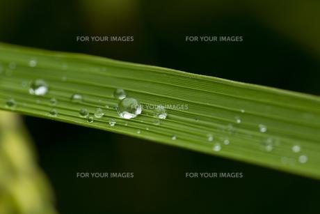稲の葉 水滴の写真素材 [FYI01209438]