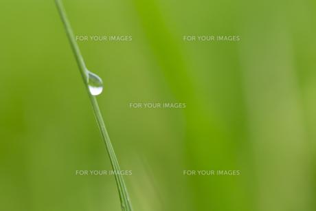 松の葉 水滴の写真素材 [FYI01209439]
