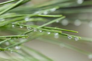松の葉 水滴の写真素材 [FYI01209440]