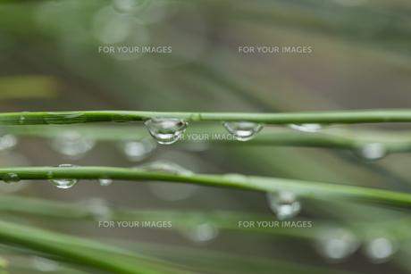 松の葉 水滴の写真素材 [FYI01209441]