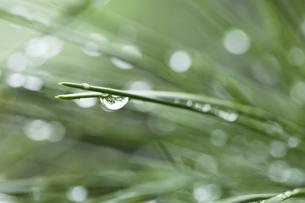 松の葉 水滴の写真素材 [FYI01209442]