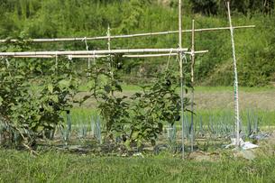茄子畑の写真素材 [FYI01209449]