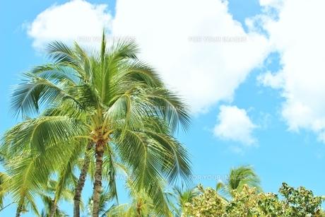ハワイ ワイキキの椰子の木の写真素材 [FYI01209508]