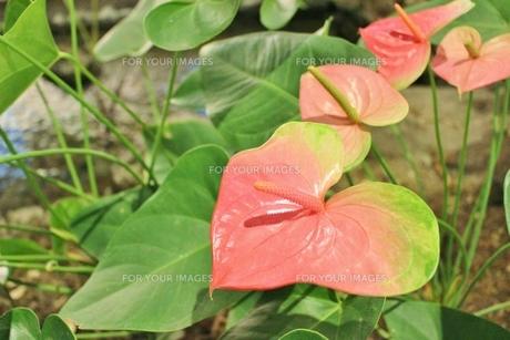 ハワイの花 アンスリウムの写真素材 [FYI01209518]