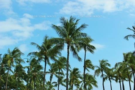 ハワイ ワイキキの椰子の木の写真素材 [FYI01209553]
