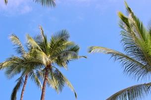 ハワイ ワイキキの椰子の木の写真素材 [FYI01209555]