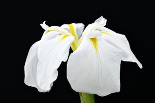 黒背景の菖蒲の花の写真素材 [FYI01209558]