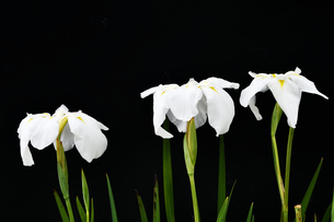 黒背景の菖蒲の花の写真素材 [FYI01209559]