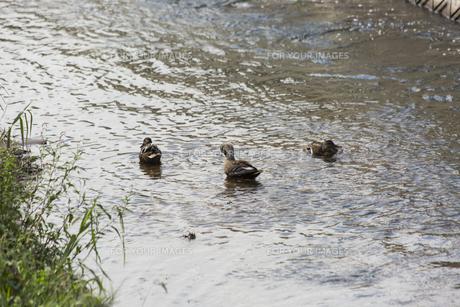 川辺のあひるの写真素材 [FYI01209645]