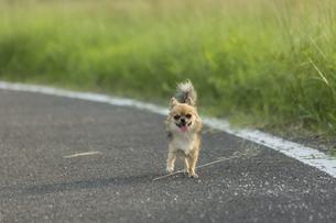 散歩中のチワワの写真素材 [FYI01209671]