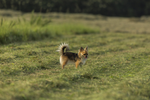 散歩道のチワワの写真素材 [FYI01209673]