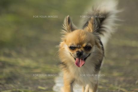 散歩道のチワワの写真素材 [FYI01209675]