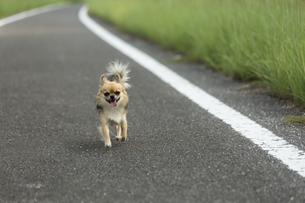 散歩道のチワワの写真素材 [FYI01209680]