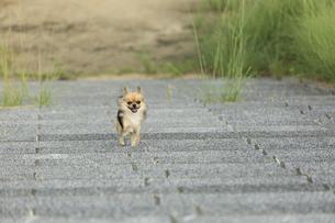 石段をかけるチワワの写真素材 [FYI01209687]