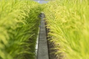 収穫前の稲の写真素材 [FYI01209688]