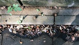 クヌギの実の写真素材 [FYI01209771]