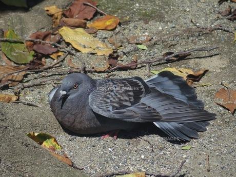 暑さに参っている鳩の写真素材 [FYI01209783]