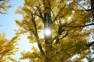 イチョウの木と逆光の写真素材 [FYI01209813]