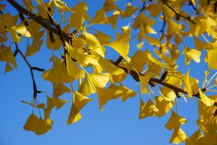 イチョウの枝のクローズアップ 秋素材の写真素材 [FYI01209816]