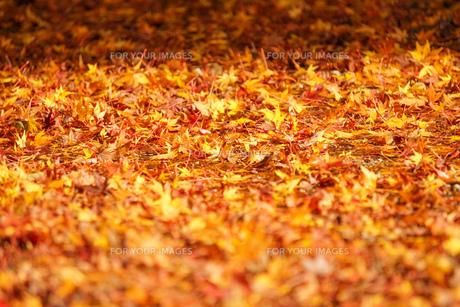 紅葉の落ち葉 シンプル素材の写真素材 [FYI01209821]