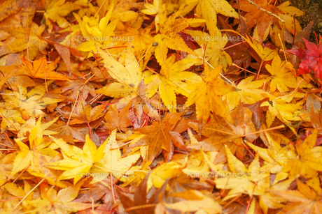 黄色い紅葉の落ち葉 シンプル素材の写真素材 [FYI01209823]