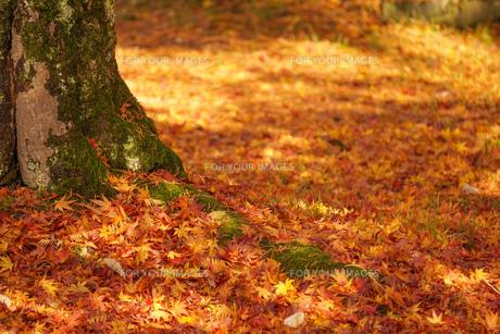 落葉と樹木の写真素材 [FYI01209827]
