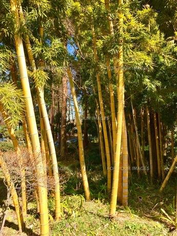 黄金の竹の写真素材 [FYI01209868]