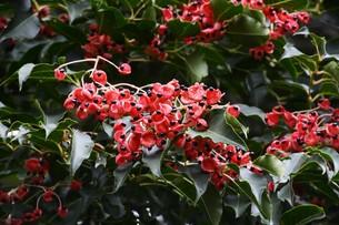 ゴンズイ ・ 赤い果皮と光沢のある黒い種子の写真素材 [FYI01209917]