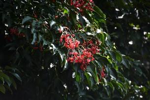 ゴンズイ ・ 赤い果皮と光沢のある黒い種子の写真素材 [FYI01209919]