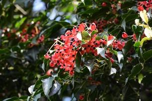 ゴンズイ ・ 赤い果皮と光沢のある黒い種子の写真素材 [FYI01209920]