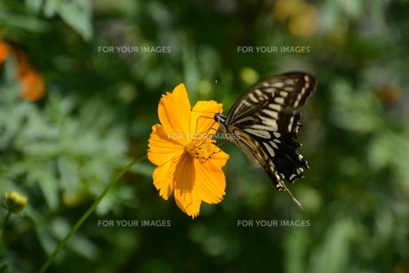 ナミアゲハ (並揚羽)・ アゲハとかアゲハチョウと呼ばれ 人家周辺でもよく見られるなじみ深い蝶。の写真素材 [FYI01209930]
