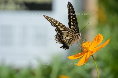 ナミアゲハ (並揚羽)・ アゲハとかアゲハチョウと呼ばれ 人家周辺でもよく見られるなじみ深い蝶。の写真素材 [FYI01209932]