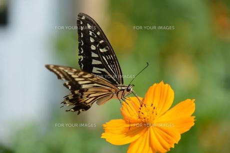 ナミアゲハ (並揚羽)・ アゲハとかアゲハチョウと呼ばれ 人家周辺でもよく見られるなじみ深い蝶。の写真素材 [FYI01209933]