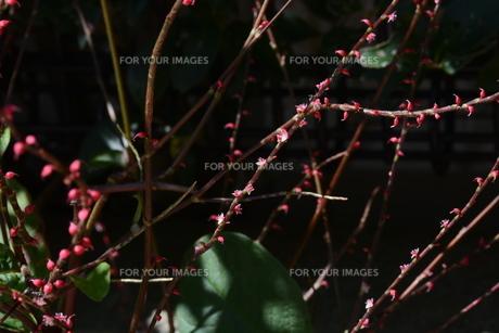 ミズヒキ ・ お祝いの熨斗袋にかけるミズヒキに似た紅白の花から連想 命名。の写真素材 [FYI01209941]