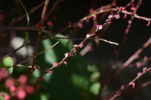 ミズヒキ ・ お祝いの熨斗袋にかけるミズヒキに似た紅白の花から連想 命名。の写真素材 [FYI01209942]