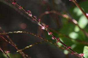 ミズヒキ ・ お祝いの熨斗袋にかけるミズヒキに似た紅白の花から連想 命名。の写真素材 [FYI01209943]