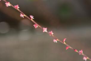 ミズヒキ ・ お祝いの熨斗袋にかけるミズヒキに似た紅白の花から連想 命名。の写真素材 [FYI01209945]